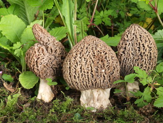 Spitzmorcheln, morchella conica