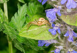 Crab spider (thomisidae sp.) on the plant
