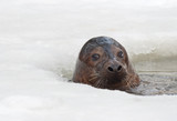 Two grey seal (Halichoerus grypus) emerges from ice-hole