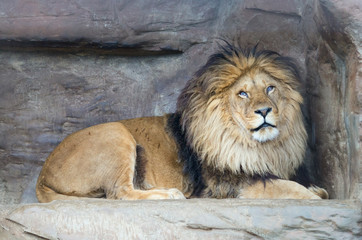 Male lion (P. Leo) rests