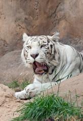 A white tiger (Panthera Tigris) yawns