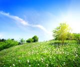 Fototapeta Dandelions on a green meadow
