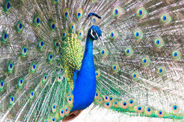 Peacock with fanned out tail