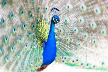 Peacock fanning out its tail