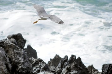 Seagull flies from cliffs towards the sea