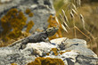 Obrazy na płótnie, fototapety, zdjęcia, fotoobrazy drukowane : Starred Agama (Laudakia stellio) lizard