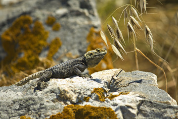 Starred Agama (Laudakia stellio) lizard
