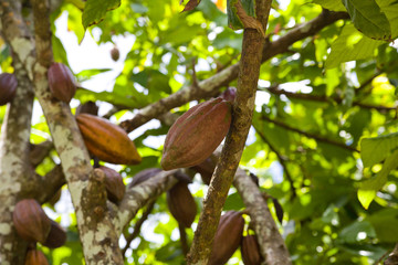 Cacao fruits, cocoa beans