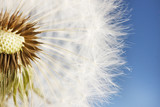 Beautiful dandelion with seeds on blue background