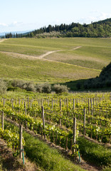 Chianti vineyard slopes