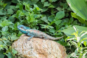 Asian lizard on the rock