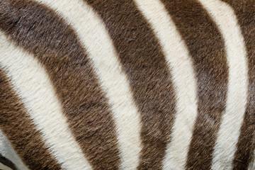 Live zebra skin closeup
