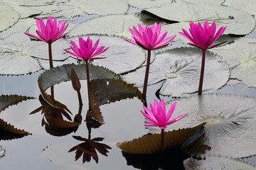 pink water lily in green leaves on a surface of a lake
