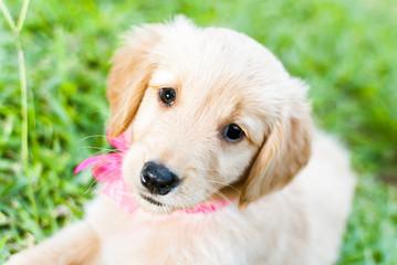 Little golden dog