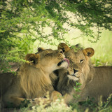 Loving pair of lion and lioness
