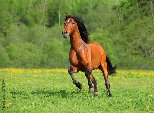Foto op Aluminium Paarden Galloping wild horse