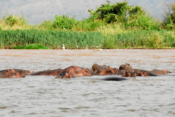 Hippo on Chamo Lake (Ethiopia)