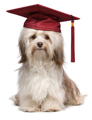 Cute eminent graduation havanese dog wit red cap