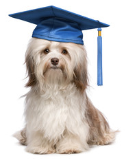 Cute eminent graduation havanese dog wit blue cap