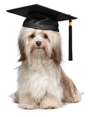 Cute eminent graduation havanese dog wit black cap