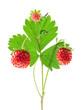 Wild strawberry isolated on white background, closeup