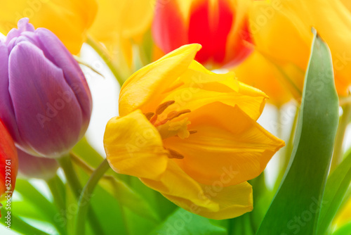 colored tender tulips in spring bouqet © Morgenstjerne