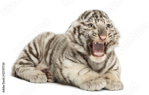 White tiger cub roaring and lying, 2 months old, isolated