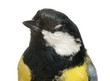 Close-up of a Male great tit winking, Parus major, isolated