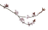 Japanese Cherry branch, isolated on white - 52798517