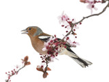 Common Chaffinch perched on branch, singing, isolated on white