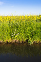 Yellow blooming rape plants at the edge of a ditch