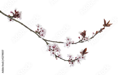Foto op Canvas Kersen Japanese Cherry branch, isolated on white