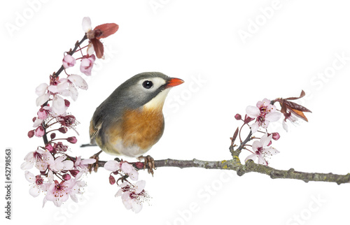 Red-billed Leiothrix (Leiothrix lutea), perched on a branch