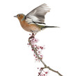 Common Chaffinch flying away from a  branch, isolated on white