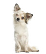 Chihuahua sitting, facing, blinking, 1 year old, isolated