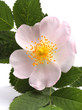Flower of dog rose isolated on white. Closeup