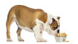 English Bulldog puppy eating from a bowl full of biscuits
