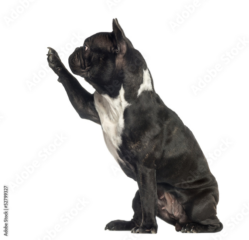Side view of a French Bulldog pawing up, isolated