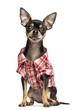 Chihuahua wearing a check shirt, 18 months old, isolated