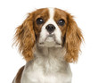 Close-up of a Cavalier King Charles Spaniel puppy, 5 months old
