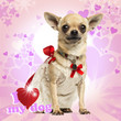 Chihuahua wearing a lace dress, fancy collar on heart background