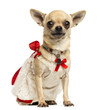 Chihuahua wearing a lace dress and fancy collar, isolated