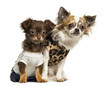 Dressed up Chihuahua puppies sitting, 3 and 9 months old