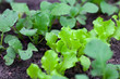 lettuce and radishes growing
