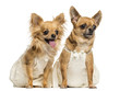 Two Chihuahua wearing dresses, 4 and 6 years old, isolated on wh