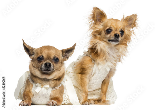 Two Chihuahua wearing dresses, 4 and 6 years old, isolated