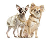 Two dressed-up Chihuahuas sitting and standing