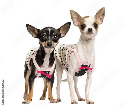 Two dressed up Chihuahuas standing, 1 and 4 years old