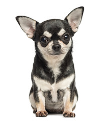 Chihuahua sitting, looking at the camera, 7 months old, isolated