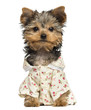 Dressed up Yorkshire Terrier puppy, looking at the camera